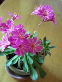 多肉ピンク花.jpg