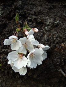 桜2013a.jpg