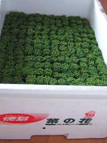 菜の花4.jpg